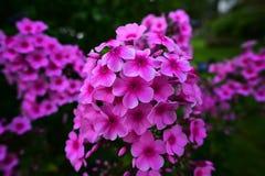 Pink Garden Phlox Stock Photography