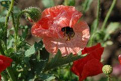 Free Pink Garden Poppy And Bumblebee. Stock Images - 169999644