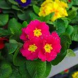 Pink garden primroses. Pink and yellow garden primroses Royalty Free Stock Photo