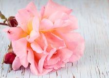 Pink garden rose Stock Photos