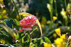 Pink garden rose in the flowerbed.  stock photo
