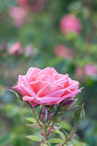Pink garden rose Stock Photography