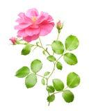 Pink garden rose flowers twig Stock Image