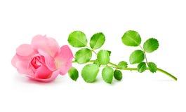 Pink garden rose flowers twig Stock Photos