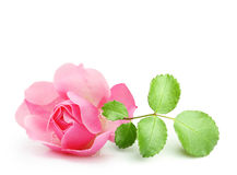 Pink garden rose flowers twig Stock Photo