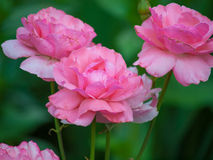 Pink garden rose. On green background Stock Image