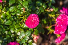 Pink garden rose. Blooming in summer Stock Photography