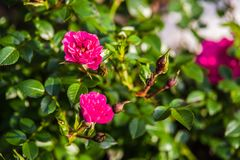 Pink garden rose. Blooming in summer Stock Images