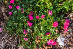 Pink garden rose. Blooming in summer Stock Image