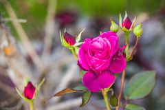 Pink garden rose. Blooming in summer Royalty Free Stock Photos