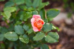 Pink garden rose. Blooming in summer Royalty Free Stock Images