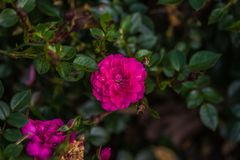 Pink garden rose. Blooming in summer Stock Photos