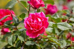 Free Pink Garden Roses Blooming On A Rose Bush Royalty Free Stock Images - 166393729