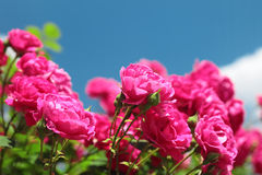 Pink garden roses Stock Image