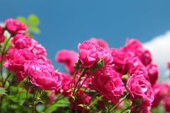 Pink garden roses Stock Image
