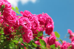 Pink garden roses Stock Images
