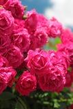 Pink garden roses Stock Photos