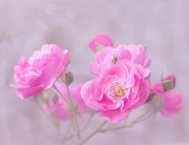 Pink garden roses branch Stock Images