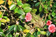 Pink gardenia flowers in the garden. Beautiful pink gardenia flowers in the garden under the sun flora blossom bush plant floral nature green leaf colorful fresh stock photo