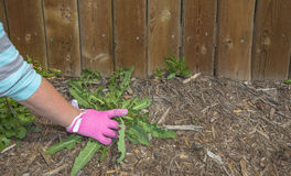 Pink gardening glove pulling weeds. Women with pink gardening glove pulling weeds out of mulch Stock Image