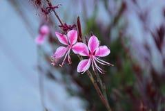 Pink gaura flower stock photo