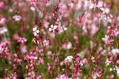 Free Pink Gaura - Oenothera Lindheimeri Stock Photos - 176759663