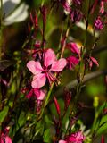 Pink Gaura or Oenothera lindheimeri blooming at flowerbed flowers and buds close-up, selective focus, shallow DOF.  royalty free stock images