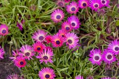 Pink Gazania Stock Photos