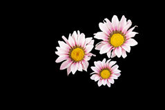 Pink Gazania flowers isloated on black Royalty Free Stock Images