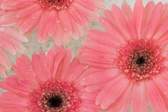 Pink Gebera flowers with water drop. Background Stock Photo