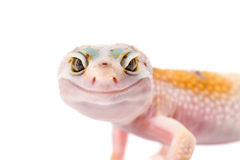 Cute Gecko macro portrait Stock Photo