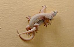 Pink geckos mating. Hot ground lizards on the wall copulating. Geckos attached to the wall mating. Small and tender reptiles stock images