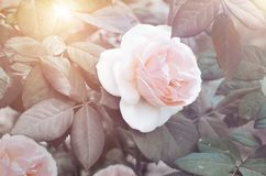 Pink gentle rose on bush Royalty Free Stock Images