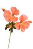 Pink geranium. Flower close-up on white royalty free stock photos