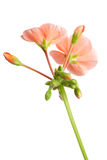Pink geranium Stock Photography