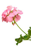 Pink geranium Royalty Free Stock Photo