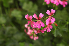 Pink geranium. On abstract green background stock image