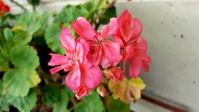 Pink geranium. Aging pink geranium with withered leaves stock images