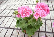 Pink Geranium on Architectural Background stock images