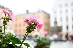 Pink geranium in the background of city. Beautiful pink geranium on the background of the cityscape, also called is pelargonium. Close up stock photography