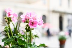 Pink geranium in the background of city. Beautiful pink geranium on the background of the cityscape, also called is pelargonium. Close up stock photos