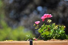 Pink geranium on the backyard. Pelargonium,geranium or cranesbill flowers against a background of blurred trees. Focus on foreground. Copy space stock image