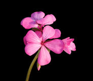 Pink geranium on black Stock Photo