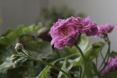 Pink geranium with buds Royalty Free Stock Photography