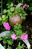 Pink Geranium in Clay Pot. Pink Climbing geranium hanging in Clay Pot Stock Photo