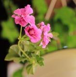 Pink geranium close-up Royalty Free Stock Image