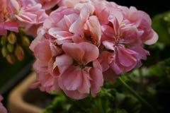 Pink Geranium in close up. Horizontal image royalty free stock photos