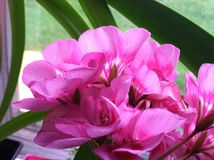 Pink Geranium. Closeup of pink Geranium potted plant in sunshine royalty free stock image