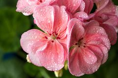 Geranium flowers pink with water drops. Macro photo lovely pink flowers in dew drops.Rose geranium. Large beautiful flowers with dew drops Royalty Free Stock Image