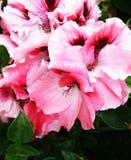 Pink geranium flower royalty free stock photo
